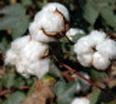cotton-116x104